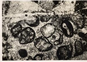 stromatolites in Gwna limestone
