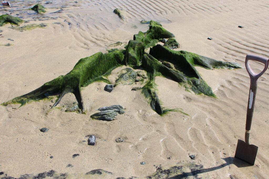 tree stump in situ on Trearddur beach